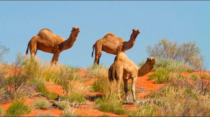¿Por qué sacrificaron a más de 5 mil camellos en Australia?