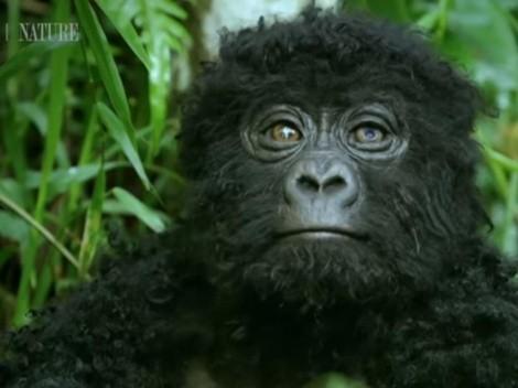 Video viral: Graban a gorilas cantando mientras comen