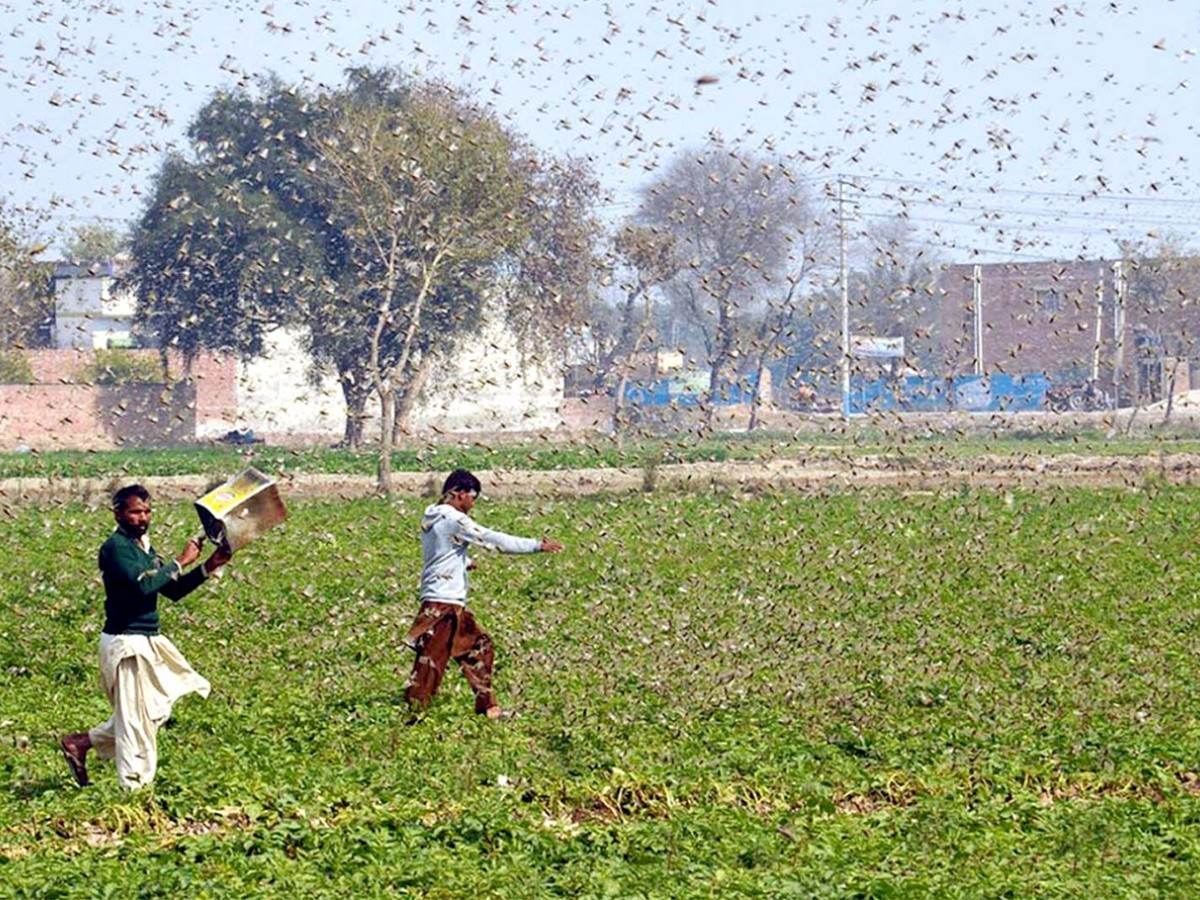 India sufre con la peor plaga de langostas de los últimos años ...